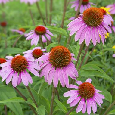 Echinacea Purpurea (Flowering Top) Organic